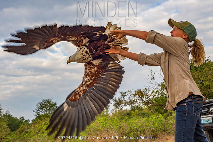 Ayla Kaltenecker releases an African fish eagle (Haliaeetus vocifer) that was captured in a leg-hold trap to be studied by raptor biologists. The researchers took measurements and a blood sample before releasing the bird. Gorongosa National Park, Mozambique.
