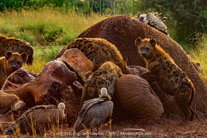 Spotted hyenas (Crocuta crocuta), R�ppell's griffon vultures (Gyps rueppelli) and white-backed vultures (Gyps africanus) at the carcass of an elephant (Loxodonta africana), as the night and day shifts trade places at dawn, Laikipia Plateau, Kenya. The elephant was killed by government officials after it killed a man walking home late at night. White-backed and R�ppell's vultures are listed as critically endangered on the IUCN Red List due to severe population declines caused by loss of their primary food source (dead wildlife) and poisoning by farmers.