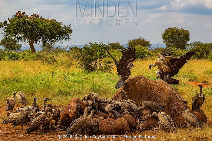 R�ppell's griffon vultures (Gyps rueppelli) and white-backed vultures (Gyps africanus) squabble over an elephant carcass (Loxodonta africana), Laikipia Plateau, Kenya. Dozens of vultures can feed on this carcass at once, thanks to the hyenas that have opened it for them. In the background, vultures that have already fed digest their meal in a tree. Thanks to the combined efforts of vultures and hyenas, carcasses are removed from the landscape relatively quickly.