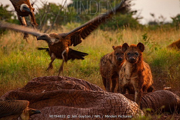 White-backed vultures (Gyps africanus) and spotted hyenas (Crocuta crocuta) squabble over the drying and deflated skin of an elephant carcass (Loxodonta africana), Laikipia Plateau, Kenya. The hyenas are tinted a reddish-brown from days of walking in and out of the elephant's body cavity. In a healthy ecosystem like this, hyenas open large, tough carcasses like this one and feed on it through the night. In the morning, there is a changing of the guard as the vultures arrive and spend the day feeding on the opened carcass. These two scavengers work together to clean large carcasses from the landscape. When hyenas are absent, vultures struggle to do the job alone.