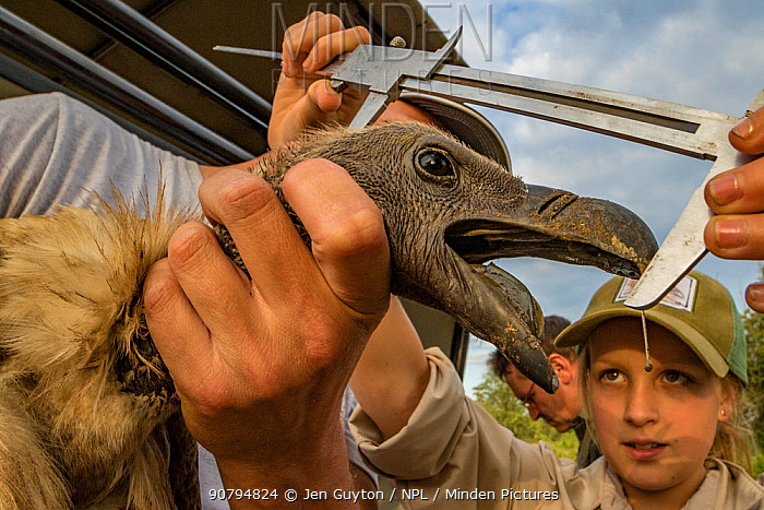 Ayla Kaltenecker, an aspiring young scientist and the daughter of one of the project's lead scientists, Greg Kaltenecker, measures the head length of an endangered white-backed vulture (Gyps africanus). Gorongosa National Park, Mozambique. Monitoring the health of Gorongosa's vultures requires taking meticulous measurements of every captured individual.
