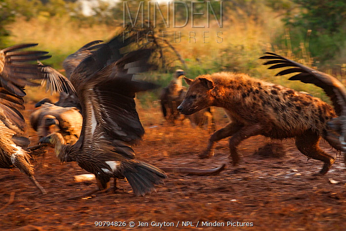 A spotted hyena (Crocuta crocuta) chases a flock of white-backed vultures (Gyps africanus) away from an elephant carcass (Loxodonta africana), Laikipia Plateau, Kenya. The hyenas are tinted a reddish-brown from days of walking in and out of the elephant's body cavity. The elephant was killed by government officials after it killed a man walking home late at night. White-backed vultures are listed as critically endangered on the IUCN Red List due to severe population declines caused by loss of their primary food source (dead wildlife) and poisoning by farmers.
