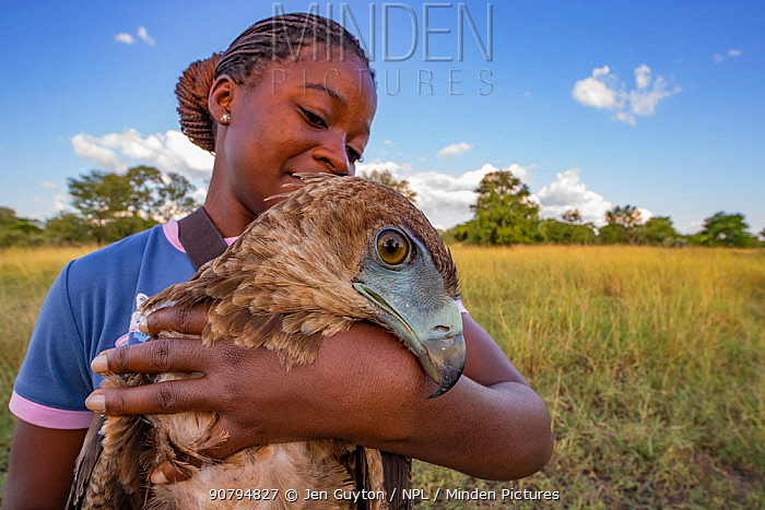 Young Mozambican scientist Diolinda Mundoza admires a juvenile bateleur eagle (Terathopius ecaudatus) that she just captured at a goat carcass in Gorongosa National Park, Mozambique. These and other birds of prey are being studied in the park to help managers make decisions about their conservation. Young Mozambicans are invited in from rural communities around the park to work with park scientists and help build science and conservation capacity.