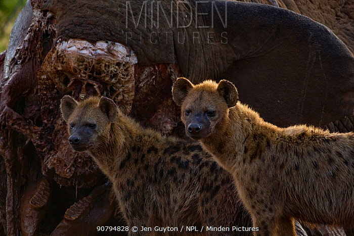 Two spotted hyenas (Crocuta crocuta) standing in front of an elephant carcass at dawn, Laikipia Plateau, Kenya. This elephant was killed by government officials after it killed a man walking home late at night. The tusks were removed by government officials to prevent poachers collecting the ivory.