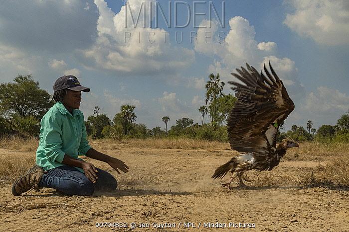 Young Mozambican biologist Diolinda Mundoza releasing a white-headed vulture (Trigonoceps occipitalis), Gorongosa National Park, Mozambique.