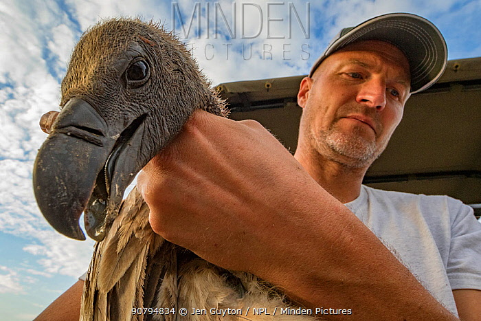 Biologist Eric Hallingstad carrying white-backed vulture (Gyps africanus) to the processing station, to fit it with a wing tag and GPS transmitter. Gorongosa National Park, Mozambique