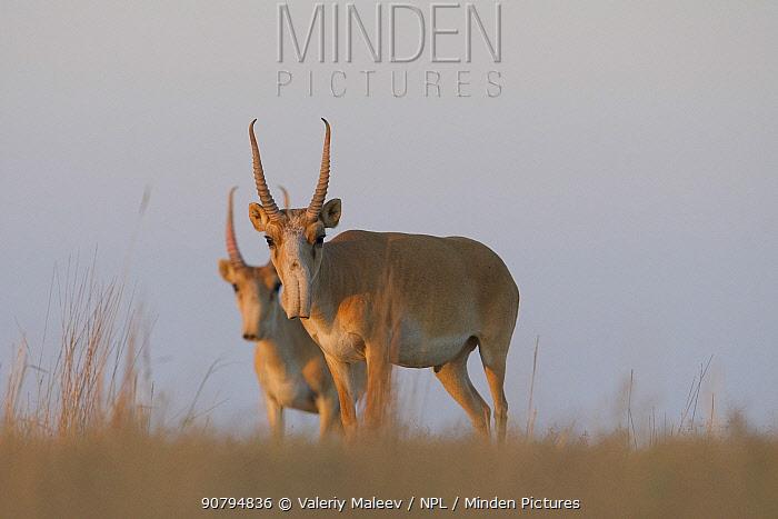 Saiga antelope (Saiga tatarica) males, Astrakhan Steppe, Southern Russia.