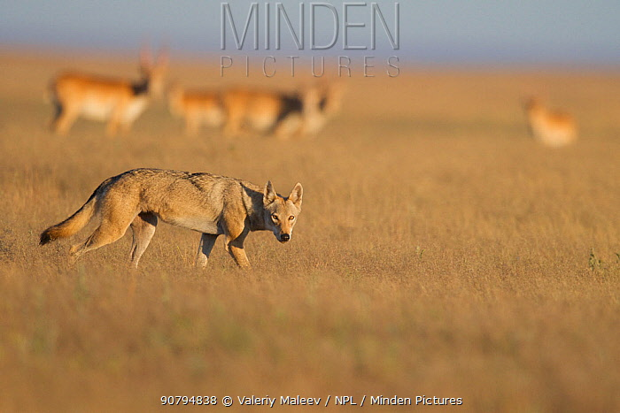 Grey wolf (Canis lupus) with  Saiga antelope (Saiga tatarica) in  the background, Astrakhan Steppe, Southern Russia.