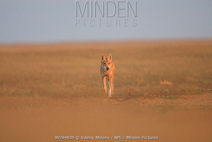 Grey wolf (Canis lupus) walking in the Astrakhan Steppe, Southern Russia.