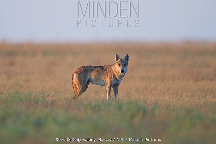 Grey wolf (Canis lupus) Astrakhan Steppe, Southern Russia.