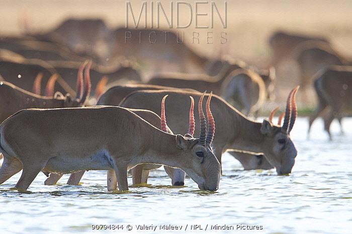 Saiga antelope (Saiga tatarica) males drinking Astrakhan Steppe, Southern Russia.
