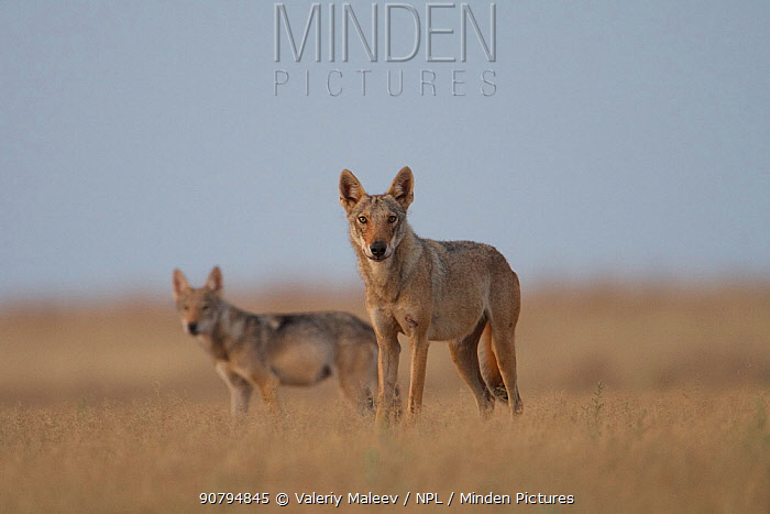 Grey wolf (Canis lupus) two standing in grass, Astrakhan Steppe, Southern Russia.