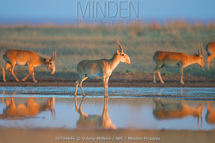 Saiga antelope (Saiga tatarica) males reflected in water, Astrakhan Steppe, Southern Russia.