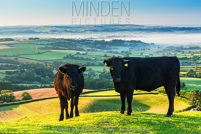 Two cows with Marshwood Vale in morning mist in background, Pilsdon Pen, Dorset, England, UK. July 2012.