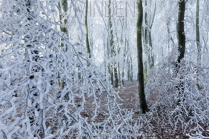 Beech (Fagus sylvatica) woodland with hoar frost, West Woods, Compton Abbas, Dorset, England, UK. December.