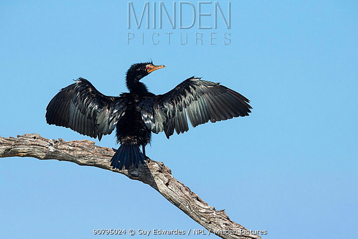 Reed cormorant (Microcarbo africanus) drying wings whilst perched in tree, Khwai, Botswana.