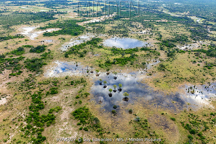Aerial view of Khwai River and Leadwood (Combretum imberbe) trees, Okavango Delta, Botswana. April 2017.