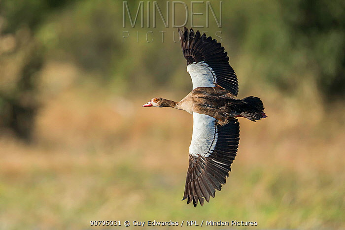 Egyptian goose (Alopochen aegyptiaca) in flight, Khwai, Botswana.