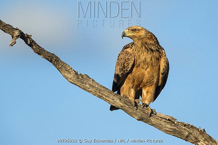 Tawny eagle (Aquila rapax) perched on branch, Savuti, Botswana.