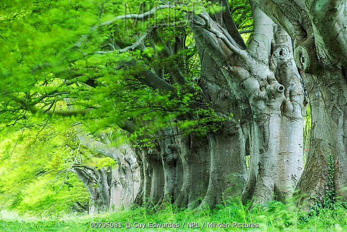 Beech (Fagus sylvatica) avenue, Kingston Lacy, Wimborne, Dorset, England, UK. May 2013.
