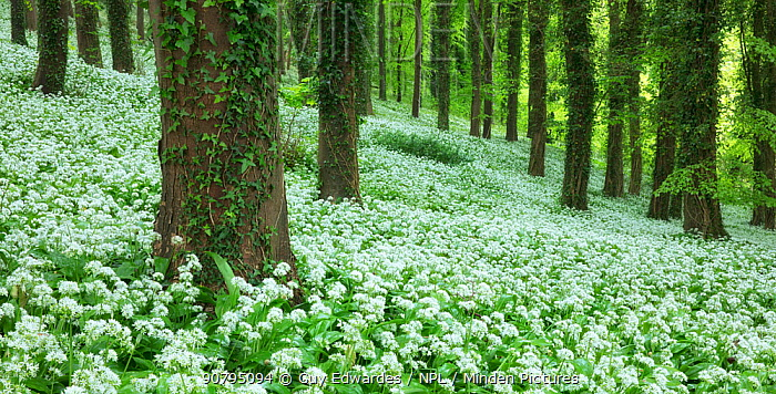 Ramsons (Allium ursinum) in bloom, Winterborne Abbas, Dorset, England, UK. May 2017.