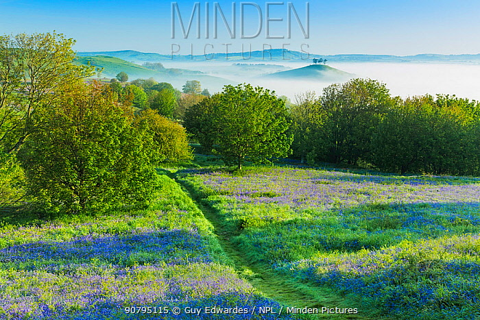 Bluebells (Hyacinthoides non-scripta) on Eype Down with Colmer's Hill in background, Bridport, Dorset, England, UK. May 2014.