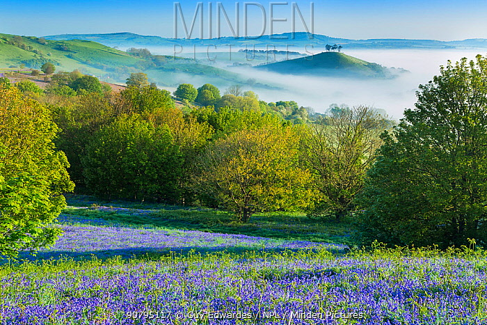 Bluebell (Hyacinthoides non-scripta) covered slope with Colmer's Hill in background, Eype Down, Bridport, Dorset, England, UK. May 2014.