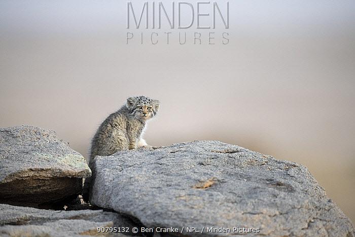 Juvenile Pallas' cat (Otocolobus manul) outside den, Mongolia, June.