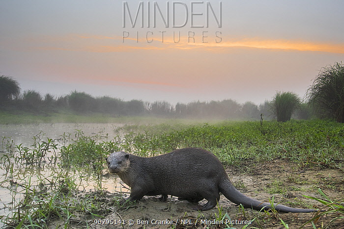 Smooth-coated otter (Lutrogalle perspicillate) about to enter a marsh at dawn, Dudhwa National Park, Uttar Pradesh, India. Photographed using a camera trap.