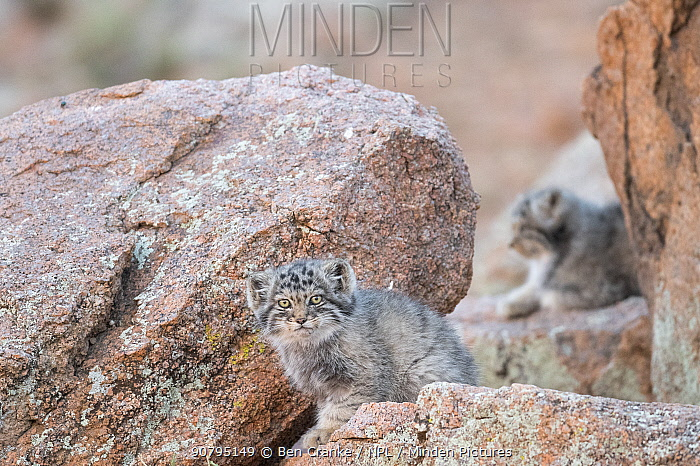 Juvenile Pallas' cat (Otocolobus manul) outside den, with another kitten in the background, Mongolia, June.