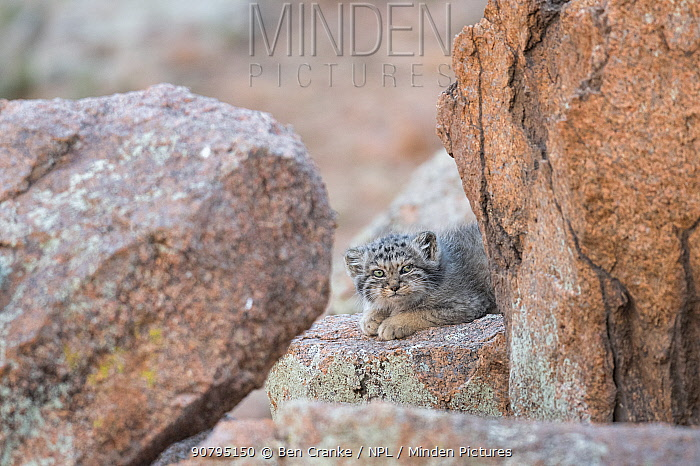 Juvenile Pallas' cat (Otocolobus manul) outside den, Mongolia, June.