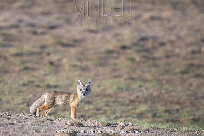 Corsac fox (Vulpes corsac) looking at camera, Mongolia, June.