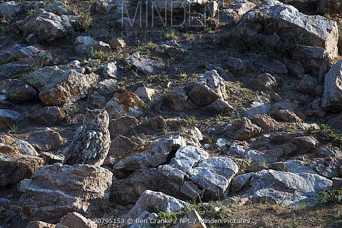 Eurasian eagle owl (Bubo bubo) perched on a rock, Mongolia, June.