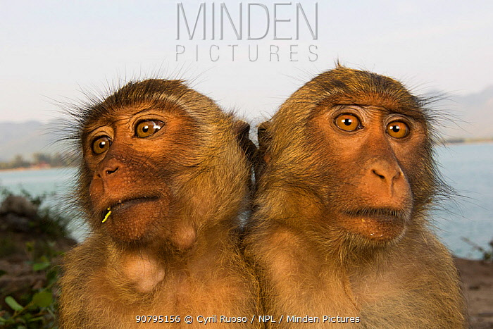Long-tailed macaques (Macaca fascicularis) two juveniles sitting close together. Koram island, Khao Sam Roi Yot National Park, Thailand.