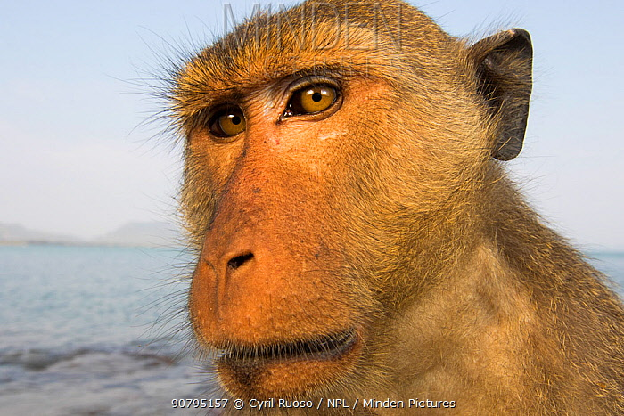 Long-tailed macaques (Macaca fascicularis) close up portrait, Koram island, Khao Sam Roi Yot National Park, Thailand.