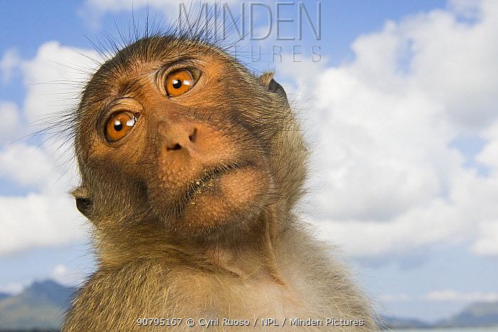 Long-tailed macaque (Macaca fascicularis) head portrait,   Koram island, Khao Sam Roi Yot National Park, Thailand.