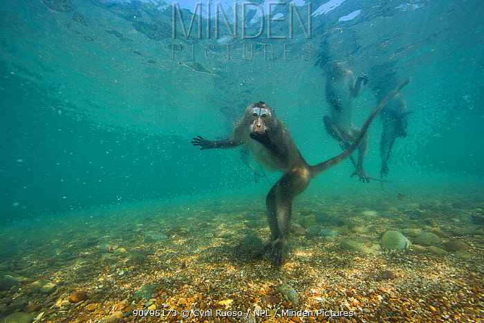 Long-tailed macaque (Macaca fascicularis) swimming. These macaques go underwater to play, or escape from a threat. When offering at temples are thrown into the water they swim and store it in their cheek pouches. Thailand.