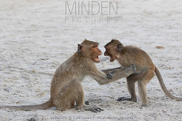 Long-tailed macaques (Macaca fascicularis) playing on the beach, Thailand.