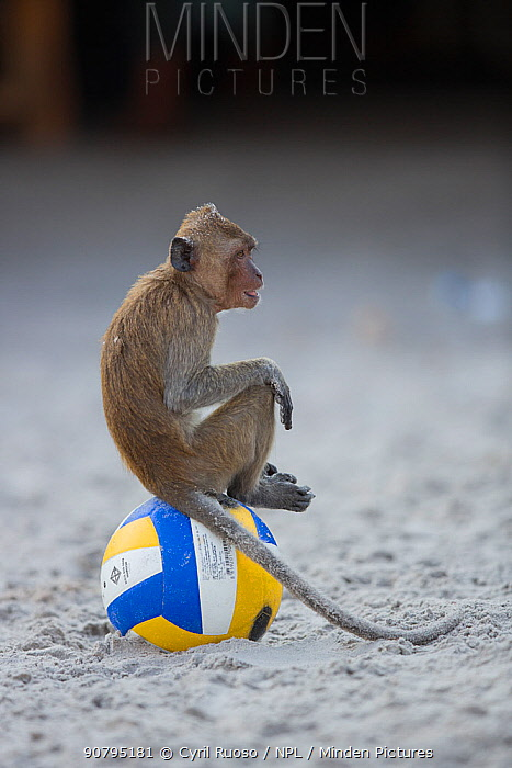 Long tailed macaque (Macaca fascicularis) sitting on football on beach, Gulf of Thailand, Thailand.