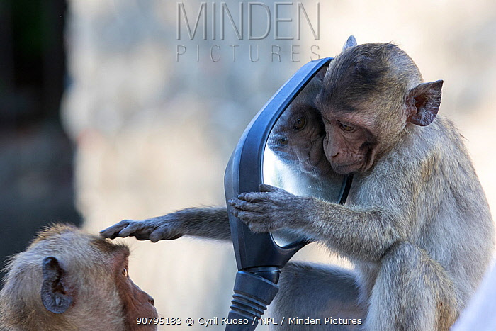 Long tailed macaque (Macaca fascicularis) juvenile playing with mirror, Gulf of  Thailand, Thailand.