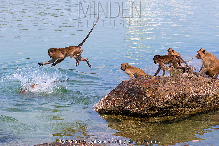 Long tailed macaque (Macaca fascicularis) troupe playing and jumping into the sea, Thailand.