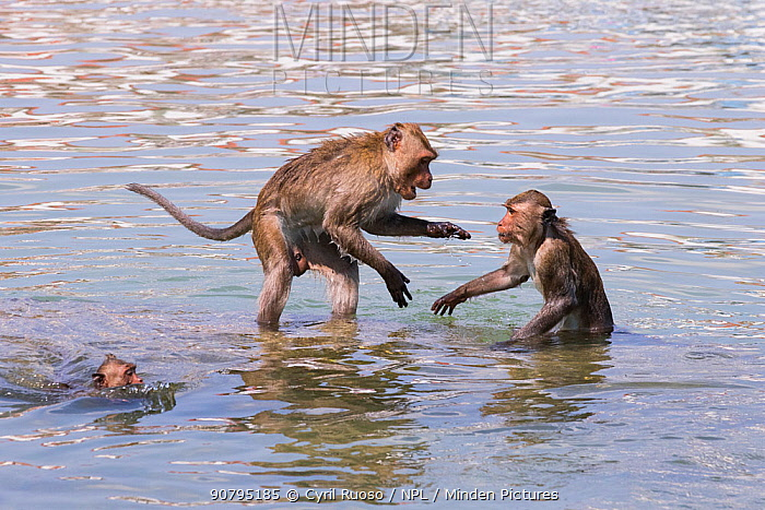 Long tailed macaque (Macaca fascicularis) troupe playing in the sea, Thailand.