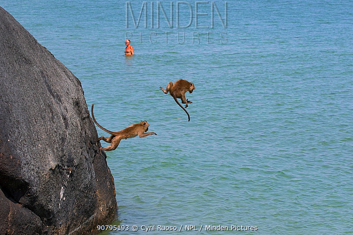 Long tailed macaques (Macaca fascicularis) playing on cliffs, jumping into the sea near city, Thailand