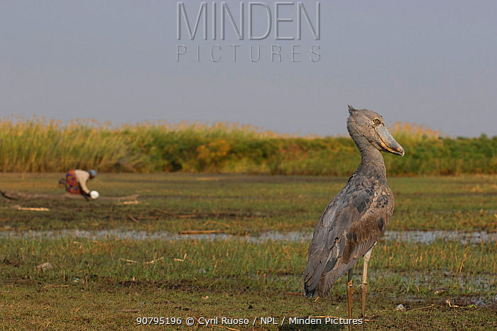 Shoebill (Balaeniceps rex) with person in the background, Bengweulu Swamp, Zambia