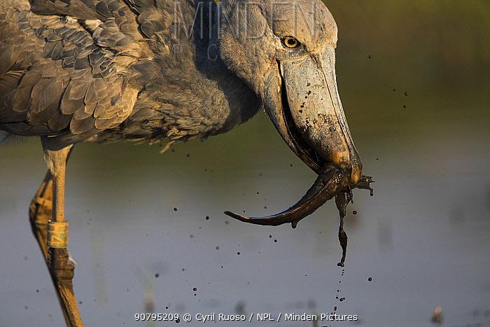 Shoebill (Balaeniceps rex)  catching a catfish. Bengweulu Swamp,   Zambia.