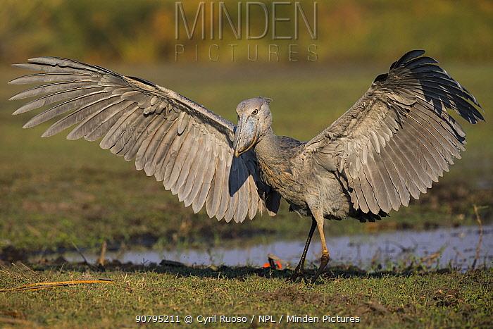 Shoebill (Balaeniceps rex)  landing. Bengweulu Swamp, Zambia.