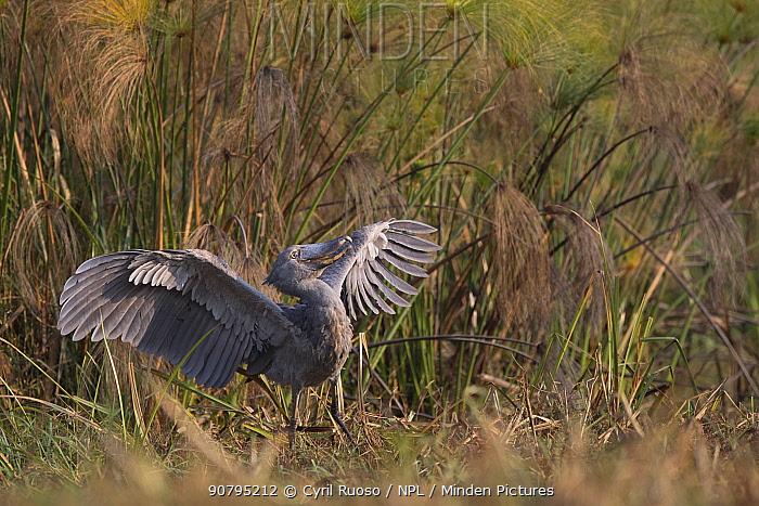Shoebill (Balaeniceps rex) displaying, Bengweulu Swamp Zambia