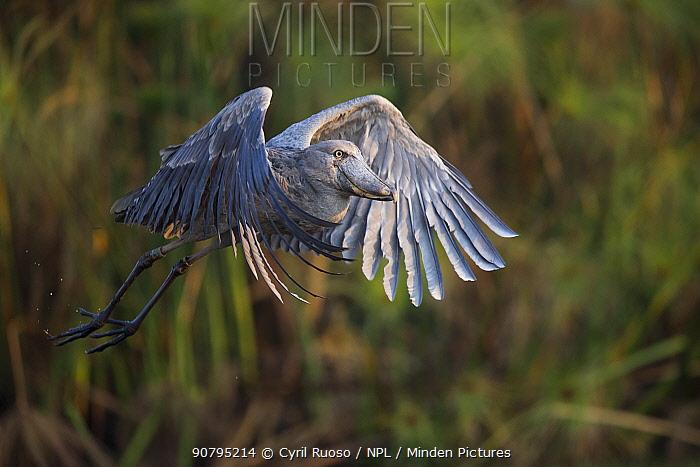 Shoebill (Balaeniceps rex) in flight, Bengweulu Swamp, Zambia