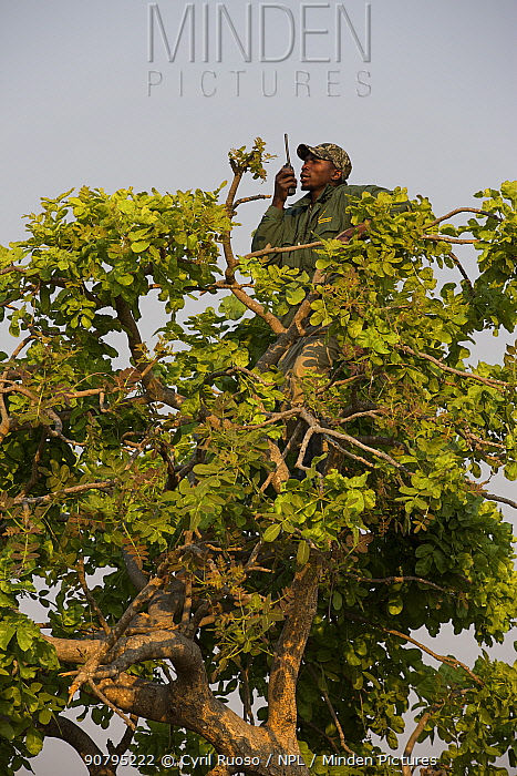 Conservationist making radio call from tree in Shoebill (Balaeniceps rex) habitat, Bengweulu Swamp, Zambia.