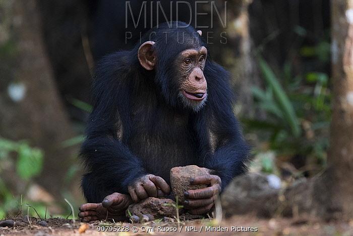 Chimpanzee (Pan troglodytes verus) juvenile 'Fanwaa' age 5 years, using stones as tools to crack open palm nuts. Bossou, Republic of Guinea.
